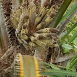 Im Ansatz der Palmwedel blühen die Ölpalmen. Daraus wachsen mehrere Büschel mit unzähligen Früchten. ©Brot für alle / Urs Walter