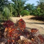 Die Ernte der reifen Früchte ist harte Arbeit: 25 bis 30 kg schwer ist ein Fruchtbüschel einer Ölpalme. ©Brot für alle / Urs Walter
