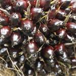 Öl wird aus dem orangen Fruchtfleisch und den Kernen der rot bis violett-braun glänzenden Ölpalmfrüchte gewonnen. ©Brot für alle / Urs Walter