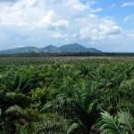 Weltweit wächst die Nachfrage nach Palmöl rasant. Als Folge werden in Kalimantan Quadratkilometer um Quadratkilometer Regenwald gerodet.  ©Brot für alle / Urs Walter