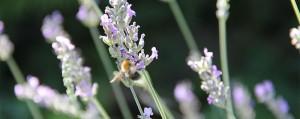bienenfreundliche-pflanzen-big-1[1]