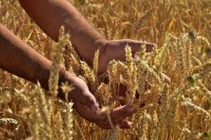 Getreide-und-Hände